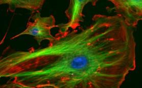 Хромосомы движутся независимо от собственной клетки