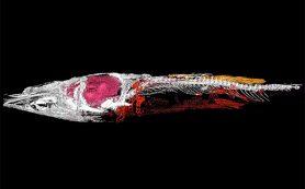 Палеонтологи нашли первое каменное сердце