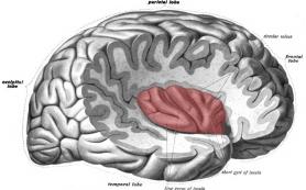Нейробиологи выяснили, почему мозг предпочитает не слушать сердце