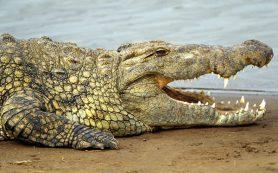 Чем птицы «платят» крокодилам за охрану гнёзд