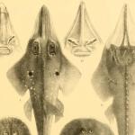 Ученые выяснили, как акулы и скаты чувствуют электричество