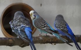 Волнистые попугайчики понимают грамматику не хуже семимесячных младенцев
