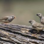 Птицы сюсюкают, чтобы научить птенцов петь