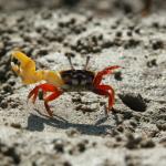 Самцы краба-скрипача заманивают самок в ловушку