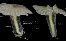 Морское животное дендрограмма оказалось сифонофором