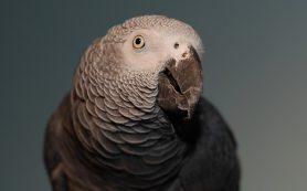 Попугаи и вороны обогнали обезьян по нейронам