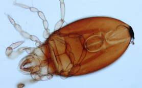 Российские ученые нашли новый вид клещей в архипелаге Вануату