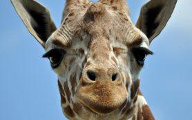 Как жирафы стали жирафами
