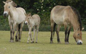 В Оренбургской области родился первый жеребенок лошади Пржевальского