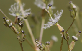 Растения-девочки и растения-мальчики по‑разному переживают изменение климата