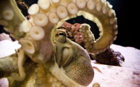 Осьминоги и другие головоногие различают цвета