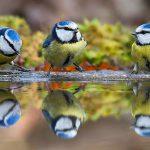Самки синиц поют при появлении хищника