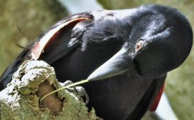 Как вороны делают орудия труда