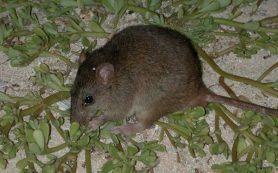 Антропогенные факторы стали причиной исчезновения двух видов австралийских грызунов