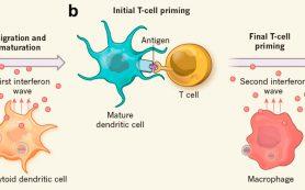 Систему противовирусной защиты можно применить для эффективной иммунотерапии рака