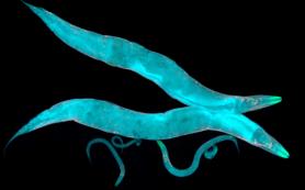 Биологи предложили модельное животное для изучения синдрома дефицита дофамина