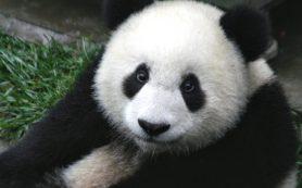 Большие панды перестали считаться вымирающим видом