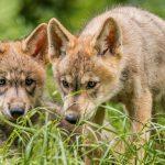 Пищевые стратегии волков и собак повлияли на их склонность к риску