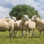 Клонированные овцы стареют, как обычно