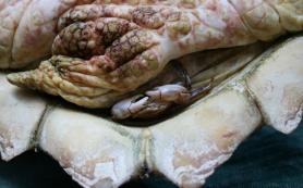 Крабы, живущие в тесноте, переходят к моногамии