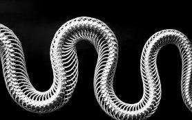 Мусорная ДНК влияет на развитие скелета