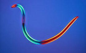 Ученые описали механизм внеклеточного наследования у нематод