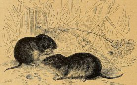 Неолитические европейцы оказались любителями мышей