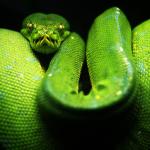 Биологи испытали ген безногости змей