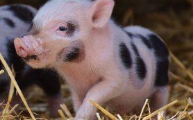 Зависит ли вкус мяса от гуманного обращения со скотом?
