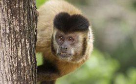 «Каменные орудия» обезьян могут запутать археологов