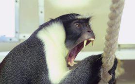 Самцы мартышек научились не спорить с самками