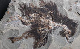 Палеонтологи нашли древнейший белок из птичьих перьев