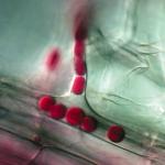 Грибы умеют обманывать иммунную систему растений