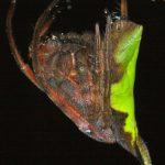 Обнаружен новый вид пауков, притворяющихся листьями