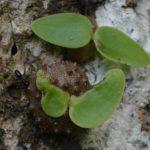 На Фиджи нашли муравьев-фермеров