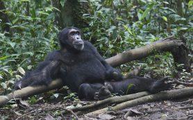 Шимпанзе уличили в равнодушии друг к другу