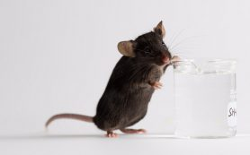 Биологи продлили жизнь мышам, не меняя гены