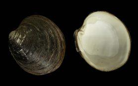 Моллюски-долгожители помогли реконструировать климат за тысячу лет