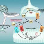 Как сердце противостоит стрессу