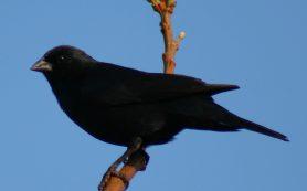 Птичья мафия
