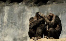 У шимпанзе не нашли альтруизм