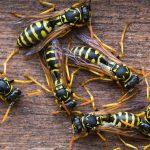 Пчелы и осы опаснее для австралийцев, чем змеи и пауки