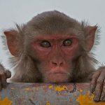 Низкокалорийная диета продлила жизнь обезьян
