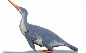 Древнейшие останки гигантского пингвина нашли в Новой Зеландии