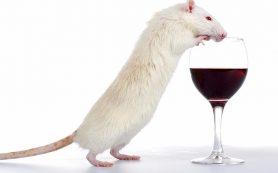 Никотин повышает влечение к алкоголю у молодых самцов крыс