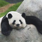 Биологи выяснили, почему панды черно-белые