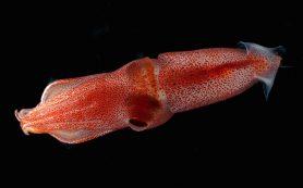 Зачем разноглазому кальмару разные глаза