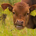 Жевание жвачки спасло млекопитающих от вымирания