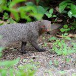 Самки мангустов предпочитают нападать на родственниц