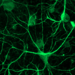 Биологическими часами управляют не только нейроны